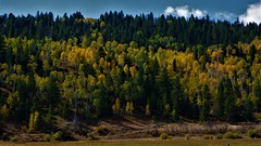 AUTUMN (The VIKINGS are Coming!) Tags: aspen wyoming fall nature natural nakedbeauty color ranch cattle elk range grazing