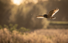 Short-eared Owl on the hunt (Steve D'Cruze) Tags: asio flammeus short eared owl nikon d500 sigma 150600mm