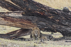 Resting in the Shade (Michael Zahra) Tags: lion lions lioness africa african tanzania safari travel ecology tourism wildlife wilderness landscape savannah conservation predator outdoors game prey sun afternoon male shade tree hot senior old