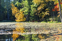 Autumn Colors 2018 - 31 (Stan S. Gallery) Tags: autumn fall fallcolors october landscape pond water waterscape trees tree forest woods waterlillies wet wetreflections reflections canonrebel