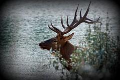Proud head (Jasper NP, Canada) (armxesde) Tags: pentax ricoh k3 canada kanada jasper jaspernationalpark rockymountains alberta mountain berg lake see wasser water lakeannette tree baum elch elk