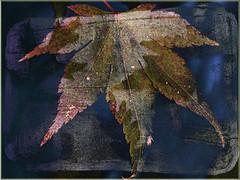 Castaño (seguicollar) Tags: imagencreativa photomanipulación art arte artecreativo artedigital virginiaseguí hoja castaño texturas otoño otoñal nervios