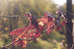 Autumn colours (stefanobosia) Tags: grapevine vine red colours color autumn leaves leaf nature natura colori rosso colore autunno vite foglie foglia fujifilm xt20 season stagione italia piemonte