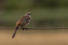 Rufous songlark (crispiks) Tags: nikon d500 70200 f28 wodonga north east victoria birdlife goynes road