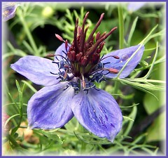 Love -in- a- Mist (ERIK THE CAT Struggling to keep up) Tags: manor estate stafford fowers love doublefantasy ngc npc