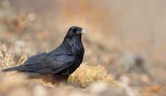 Raven (kevinclarke1969) Tags: death valley usa raven corvid