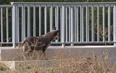 Chiens errants - IMG_7267 (6franc6) Tags: canidésp canissp occitanie languedoc gard 30 petite camargue août 2018 6franc6 vélo kalkoff vae danger dangereux morsure attaque blessure chasseur chasse