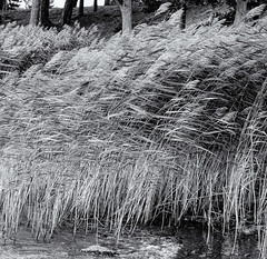 Grasses in the wind (Tim Ravenscroft) Tags: grasses lake mälaren sundbyholm sweden hasselblad hasselbladx1d monochrome blackandwhite blackwhite