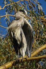 Grey Heron Up A Tree (paulinuk99999 (lback to photography at last!)) Tags: paulinuk99999 london wildlife grey heron willow tree british bushy park autumn september 2018 a73 a7iii sal70400g