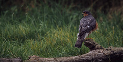 Sparrow Hawk - Accipiter nisus (neil 36) Tags: sparrow hawk accipiter nisus nature wildlife perched nikon d7200 bird raptor thankyou pitkin9