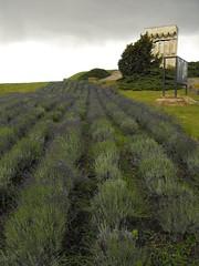 DSCF2094 (agnieszka.lublin) Tags: storm clouds sky skyline landscape sadness melancholy lavender field grass scent flowers
