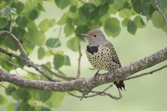 Rest Stop (gseloff) Tags: redshaftednorthernflicker bird perch branch leaves animal nature wildlife bluffsprings newmexico gseloff