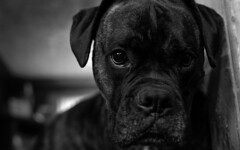 Djangaroo (Thunderwall) Tags: dog pet boxer brindle bullmastiff bw black white monochrome closeup close up portrait eyes