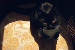 ellie (kaumpphoto) Tags: mamiya nc1000s kodak portra 800 color cat black yellow orange eyes whiskers fur embroider chair seat cushion feline shadow
