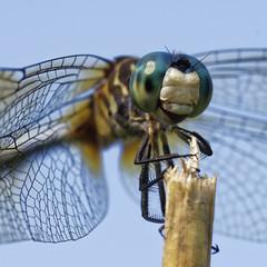 DragonFly_SAF4082_DxO-2 (sara97) Tags: odonata copyright©2018saraannefinke dragonfly insect missouri mosquitohawk nature photobysaraannefinke predator saintlouis towergrovepark