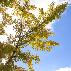 3553Fall16 (Robin Constable Hanson) Tags: blue yellow autumn ceiling fall ginkgobiloba leaves overhead sky up