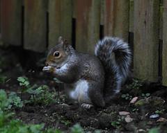 Dark Grey (idmcl) Tags: nikon d7200 grey squirrel scotland garden