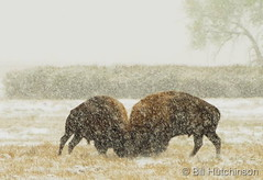October 14, 2018 - Bison battle in the snow. (Bill Hutchinson)