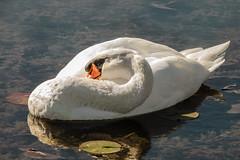 Sleeping Swan (Greg Jarman) Tags: birds animals closeup nature olympus omd em1 40150 micro four thirds m43
