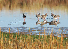 Redshank:  19.10.18. (VolVal) Tags: dorset bournemouth hengistburyhead birds redshank tringatotanus lagoon mud october