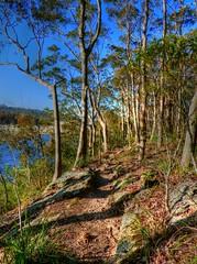 Forest and stream X (elphweb) Tags: hdr highdynamicrange nsw australia forest bush tree trees wood woods spottedgum spottedgums spottedgumtrees waterway water stream creek weed algae