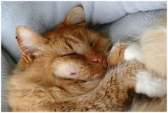 Scarface ... (Jan Gee) Tags: billy cat chat kat katze kater tomcat rode roter rote ginger orange red scar cheek injury shaven gat gatto kot