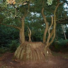 2018_09_0899 (petermit2) Tags: medusaoak oak sherwoodforest sherwood forest nottinghamshire
