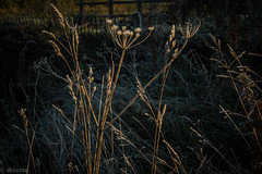 First Frost (sharongellyroo) Tags: umbellifer umbelliferwednesday walkies huw walkes glemsford suffolk frost sunshine