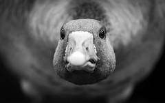 (Kijkdan) Tags: portrait closup bokeh blackandwhite monochrome animal bird goose rotterdam fujifilm