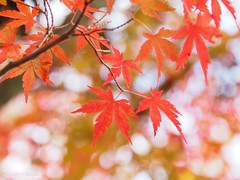 2018 Momiji #1 (Yorkey&Rin) Tags: 11月 2018 autumn autumnleaves em5markii fall japanesemaple momiji november olympus olympusm14150mmf4056ii pb020028 rin yamanakako yamanashi もみじ゙ 紅葉 紅葉祭り 山中湖 山梨県 秋