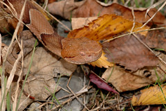 Agkistrodon contortrix (rdodson76) Tags: agkistrodoncontortrix copperhead snake reptile pitviper viper venomous camouflage blendingin animal herpetology nature wildlife head eyes danger serpent