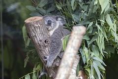 Koala understands me... (basssinger23) Tags: koalas art koala nature kangaroo australia cute appicoftheweek summer koalabear sydney beautiful baby animal photographer animals zoo aussie travel photography wildlife australiananimals tamronsp90mmf28dimacro