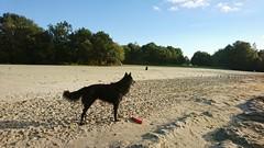 Totoro at the beach 🐕 (Jos Mecklenfeld) Tags: totoro dutchshepherd dutchshepherddog hollandseherder hollandseherdershond dog hond beach strand sonyxperiaz5 xperia