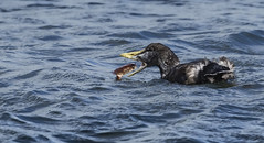Eider (Wild) - Now I 'get' why the gargantuan beak!  - Bad day for the Crab #1 (Ann and Chris) Tags: avian amazing aqua bird beak crab coast duck eating feeding eider female norway norge ocean sea unusual wildlife wild waterbird water