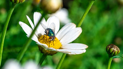 DSCF6041 (::nicolas ferrand simonnot::) Tags: canon macro lens fd 50mm f35 ssc 70s | 6 blades aperture mount paris 2018 bleue bokeh color green blue yellow depth field dof bois fleur arbre animal fly