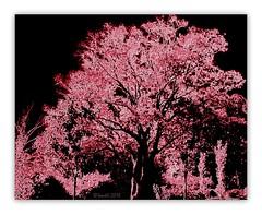 The red trees (boeckli (On Vacation)) Tags: tree baum autumn red rot herbst textures texturen texture textur textured outdoor flora pflanzen