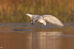 ''Prélude!'' Mouette de bonaparte (pascaleforest) Tags: oiseau bird animal passion nikon nature wild wildlife québec canada light lumière automne kayak