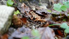 Springfrosch (Aah-Yeah) Tags: springfrosch rana dalmatina frosch achental chiemgau bayern