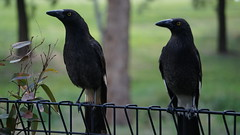 Currawongs on the back gate  profile shot...Strepera graculina SC06363D (spelio) Tags: birds backyard currawong sony a6000 zoom act canberra species