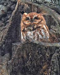 FGR_0210 (frodin78) Tags: easternscreechowl screech owl owls raptors birds nature wildlife