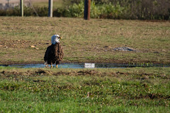 Standing Proud...In His Puddle (Northern Wolf Photography) Tags: bird eagle wildlife