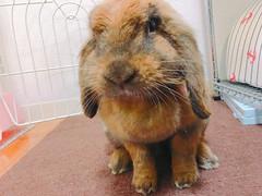 あまなつちゃん (ココロのおうち) Tags: rabbit bunny pet 動物 うさぎ ペット うさぎ専門店 ココロのおうち うさぎラブ