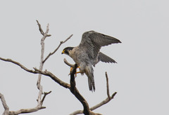 7K8A8237 (rpealit) Tags: scenery wildlife nature state line lookout peregrine falcon bird