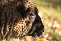 Bokeh Sheep (~Arles) Tags: sheep animal bokeh helios442 wool eye nose outdoors farm sunlight