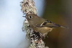 Clarke_181014_4830.jpg (www.raincoastphoto.com) Tags: birds birdsofbritishcolumbia birdsofnorthamerica birdsofcanada sparrows rubycrownedkinglet