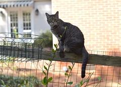 Camille on the fence (rootcrop54) Tags: camille female mackerel tabby fence terrace striped awning neko macska kedi 猫 kočka kissa γάτα köttur kucing gatto 고양이 kaķis katė katt katze katzen kot кошка mačka gatos maček kitteh chat ネコ