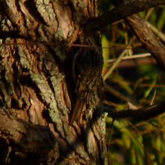Brown Creeper (Dendroica cerulea) Tags: browncreeper certhiaamericana certhia certhiidae certhioidea passeri passeriformes psittacopasserae eufalconimorphae aves birds creeper autumn donaldsonpark highlandpark middlesexcounty nj newjersey