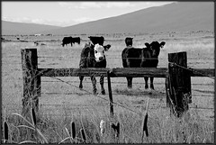 Move It On Over (2bmolar) Tags: fence fencedfriday bw cows grazing
