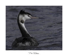 A cold day for a Grebe (timgoodacre) Tags: grebe greatcrestedgrebe bird birds birdportrait birdlife wildbird water waterbird waterfowl waterdrops waterfoul nature nationalgeographic natural ngc animal animalportrait wildanimal outside outdoors outide