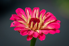 Pink Zinnia (tresed47) Tags: 2018 201810oct 20181001chestercountymacro chestercounty content fall flowers folder home macro october pennsylvania peterscamera petersphotos places season takenby technical us zinnia
